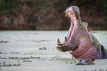 A hippo, Hippopotamus amphibius, yawns in a green waterhole, Londolozi Game Reserve, South Africa