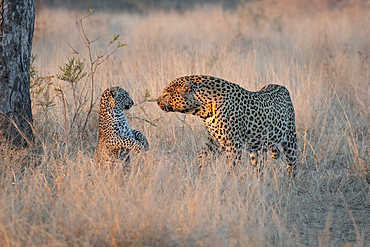 A male leopard, Panthera pardus, looks at a cub raised on its hind legs, Londolozi Game Reserve, South Africa
