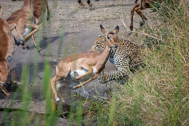 A leopard, Panthera pardus, chases an impala, Aepyceros melampus, Londolozi Game Reserve, South Africa