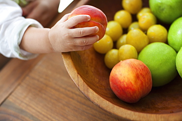 A small child, a one year old girl, grasping fruit from a bowl, New York state, USA