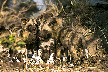 A group of wild dog puppies, Lycaon pictus, licking each other.