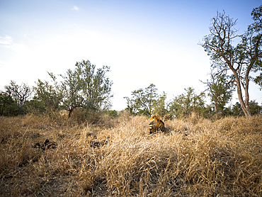 A wide angle of a male lion, Panthera leo, lying with head up in long yellow grass.