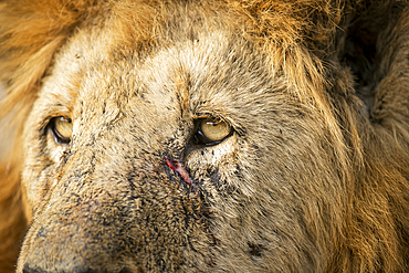 A close up portrait of a male lion, Panthera leo, showing scratches on face.