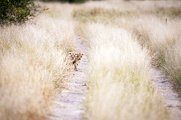 Two lion cubs, Panthera leo, look down a dirt track through long yellow grass.