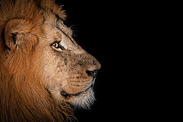The side profile of a male lion, Panthera leo, in the dark