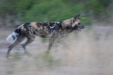 A wild dog, Lycaon pictus, runs through grass, motion blur