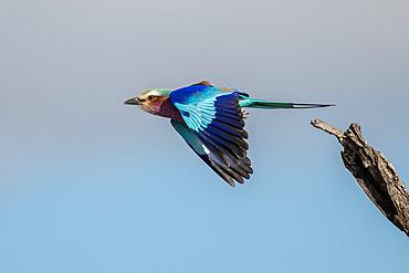 Bird, lilac breasted roller, Coracias caudatus, takes off in flight