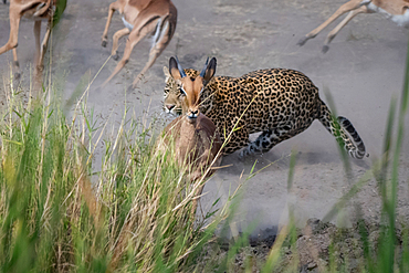 A leopard, Panthera pardus, chases an impala, Aepyceros melampus