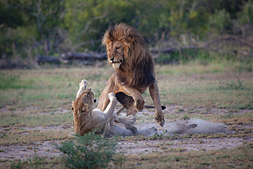 A male and female lion, Panthera leo, fight