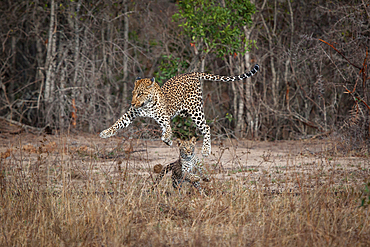 A mother leopard and cub, Panthera pardus, play together by jumping into the air