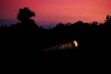 A lioness, Panthera pardus, is lit up by a spot light at sunset