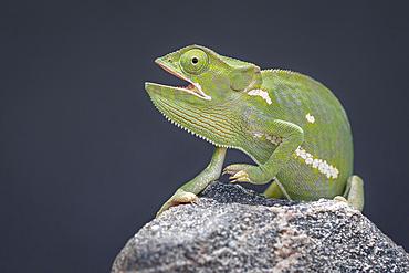 Flap-necked chameleon, Chamaeleo dilepis, mouth open, black background