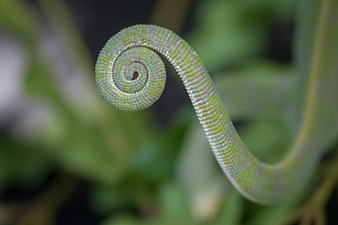 The tail of a flap-necked chameleon, Chamaeleo dilepis