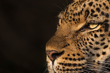 The head of a leopard, Panthera pardus, black background