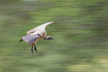 A white-backed vuture, Gyps africanus, flies close to the ground, motion blur