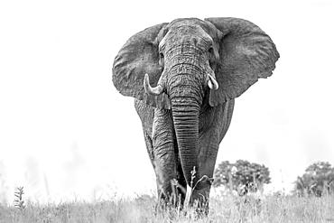 An elephant, Loxodonta africana, walks towards the camera, low angle, black and white.