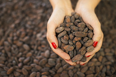 Organic Chocolate Manufacturing. A person holding a handful of cocoa beans, the seed of Theobroma cacao, raw materials for chocolate making, Woodstock, New York, USA