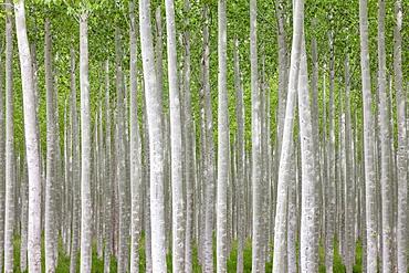 Poplar tree farm or tree plantation in Oregon, Oregon, USA
