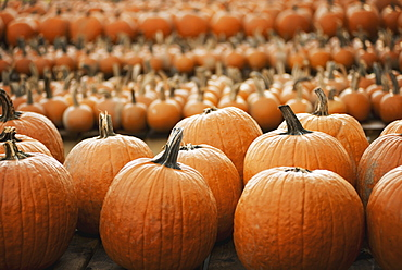Pumpkins arranged in rows to be hardened off and dried. Organic farm, Woodstock, New York, USA
