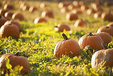 A field of pumpkins growing, Woodstock, New York, USA