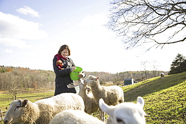 A woman with a bucket feeding the sheep at an animal sanctuary. A small group of animals, Saugerties, New York, USA