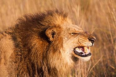 African lion, Duba Plains, Botswana, Duba Plains, Botswana