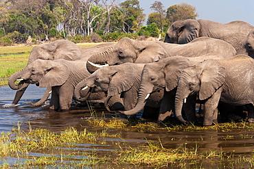 African elephants, Okavango Delta, Botswana, Okavango Delta, Botswana