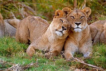 African lions, Botswana, Botswana