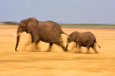 African elephant and calf, Botswana, Botswana