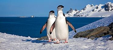 Chinstrap penguins, Half Moon Island, South Shetland Islands, Antarctica, Half Moon Island, South Shetland Islands, Antarctica