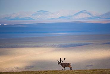 Caribou, Arctic National Wildlife Refuge, Alaska, USA, Arctic National Wildlife Refuge, Alaska, USA