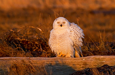 Snowy owl, George C. Reifel Bird Sanctuary, British Columbia, Canada, British Columbia, Canada