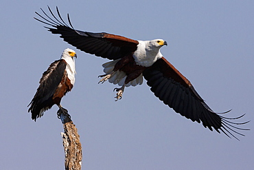 African fish eagles, Chobe National Park, Botswana, Chobe National Park, Botswana