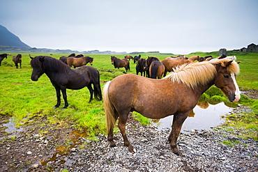 Icelandic horses, Iceland, Iceland