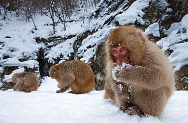 Japanese Macaques, Japanese Alps, Honshu Island, Japan, Honshu Island, Japan