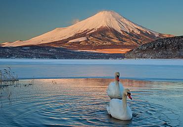 A pair of mute swans in Lake Kawaguchi disrupt the reflection of Mt. Fuji, Japan, Lake Kawaguchi, Mount Fuji, Japan