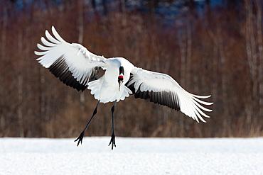 Japanese crane, Hokkaido, Japan, Hokkaido, Japan