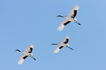 Japanese cranes, Hokkaido, Japan, Hokkaido, Japan