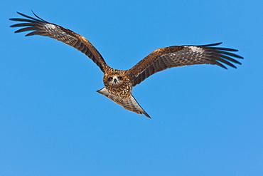 Common buzzard in flight, Hokkaido, Japan, Hokkaido, Japan