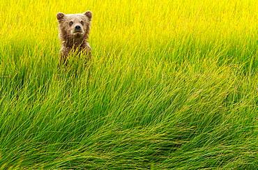 Brown bear cub, Lake Clark National Park, Alaska, USA, Lake Clark National Park, Alaska, USA