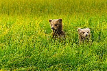 Brown bear cubs, Lake Clark National Park, Alaska, USA, Lake Clark National Park, Alaska, USA