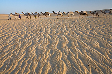 Camel train, a group of animals haltered and led by two people on the windswept sands of the Sahara desert in Mali, Sahara Desert, Mali