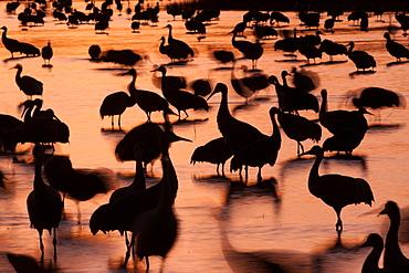 Sandhill cranes, Grus canadensis, Bosque del Apache National Wildlife Refuge, New Mexico, USA, Bosque del Apache National Wildlife Refuge, New Mexico, USA
