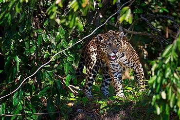 Jaguar, Panthera onca, Brazil, Brazil
