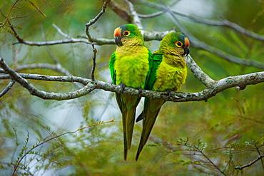 Peach-fronted parakeets, Aratinga aurea, Brazil, Brazil