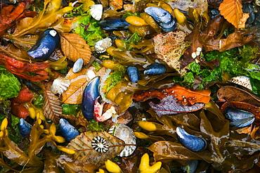 Mussels, seaweed and kelp alder leaves, San Juan Islands, Washington, USA, San Juan Islands, Washington, USA