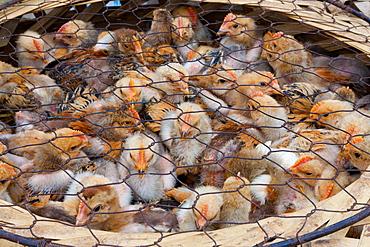 Chicks for sale at market, Yuanyang, China, Yuanyang, China