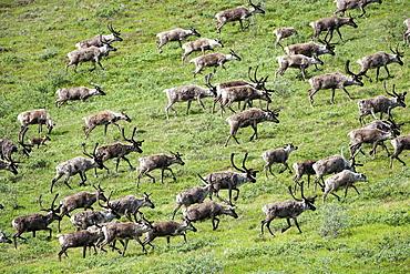 Caribou, Arctic National Wildlife Refuge, Alaska, USA, Arctic National Wildlife Refuge, Alaska USA