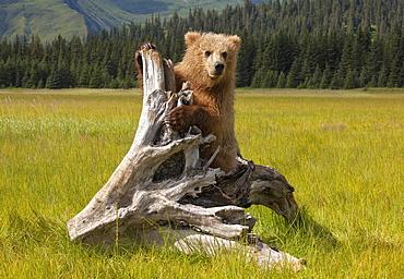 Brown bear, Lake Clark National Park, Alaska, USA, Lake Clark National Park, Alaska, USA