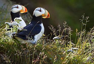 Horned puffins, Lake Clark National Park, Alaska, USA, Lake Clark National Park, Alaska, USA